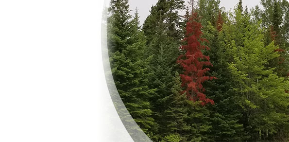 Occurrences of evergreens turning orange and red