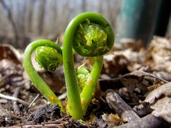fiddlehead